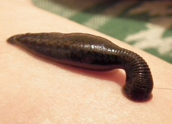 Sucking_leech