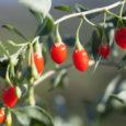fresh goji berry on the branch