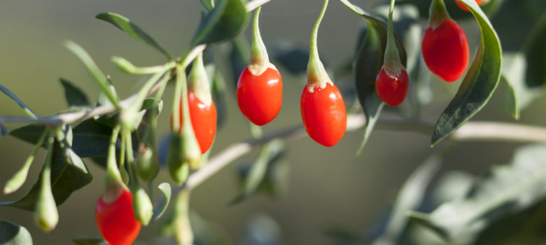 fresh goji berry on the branch